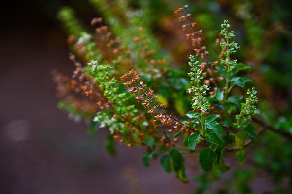10 Health Benifits Of Tulsi (Holy Basil Leaves)